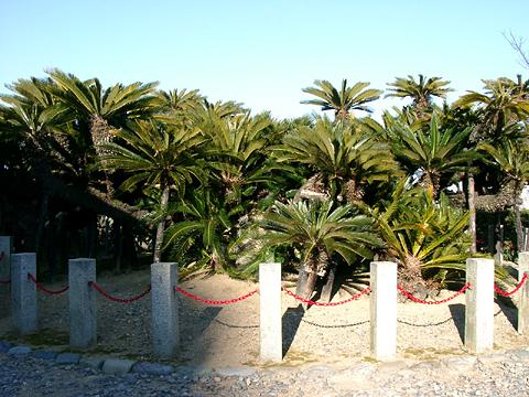 樹齢推定1100年という大ソテツ