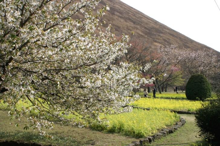 「さくらの里」に咲く大島桜