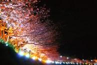 河津桜・夜桜