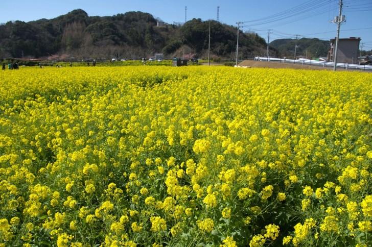 菜の花が咲く、日野会場