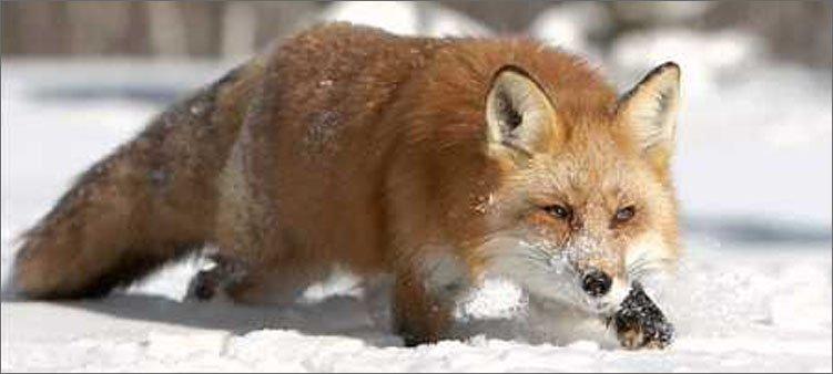 Какие животные не спят зимой жизнь животных зимой