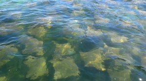 Cow Nosed Rays in Shoal Bay