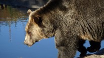 grizzly-bear-1248075_1280