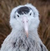 Wandering Albatross Chick