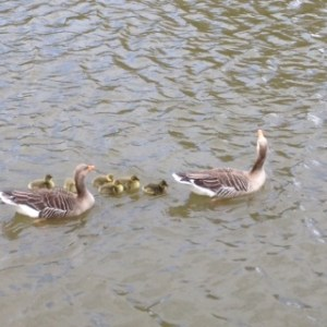 Mother Goose and Family!