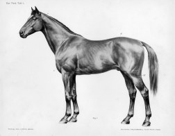 Horse anatomy by Herman Dittrich - body
