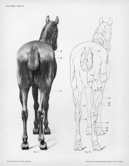 Horse anatomy by Herman Dittrich - rear