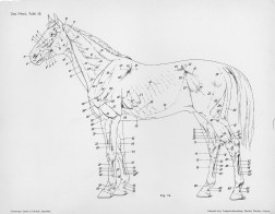 Horse anatomy by Herman Dittrich - full body