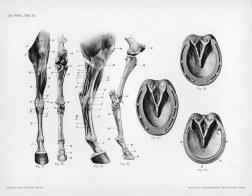 Horse anatomy by Herman Dittrich - hind legs and hoof