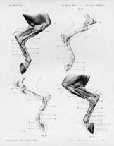 Horse anatomy by Herman Dittrich - hind legs