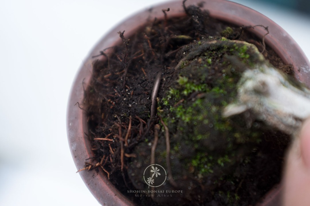 Here it is visible how little the wire is seen at soil level. Afterwards easy to cover with moss.