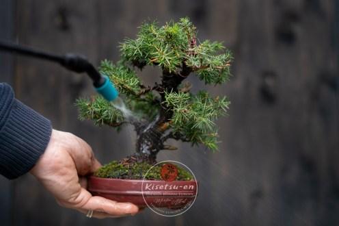 Juniperus rigida, needle juniper.
