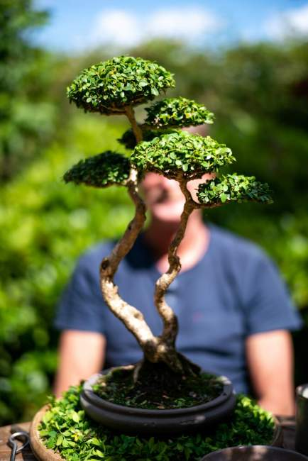 Johnny Eslykke and his boxwood.