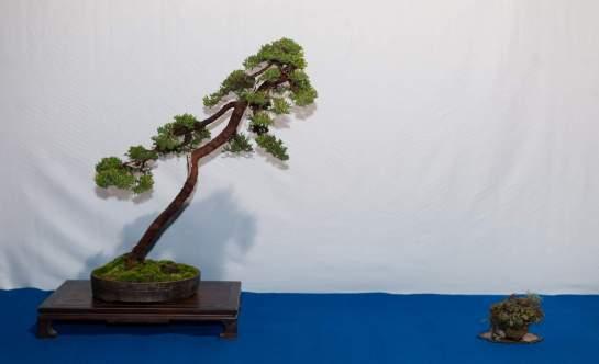 Juniperus procumbens, Morten Albek