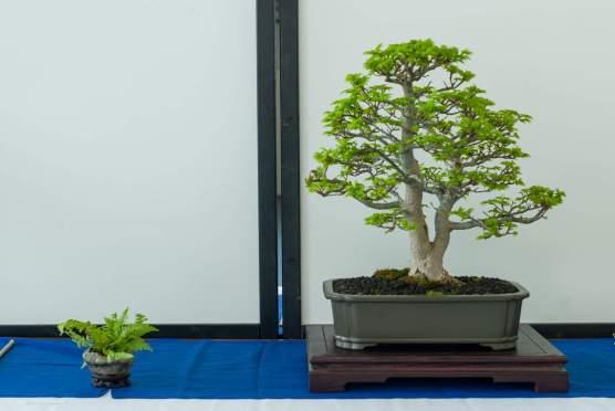 Jesper Kristensen, Acer palmatum `Shishigashiri`.
