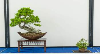 Bonsai - hædrende omtale. Ole Clæfer, Larix decidua.