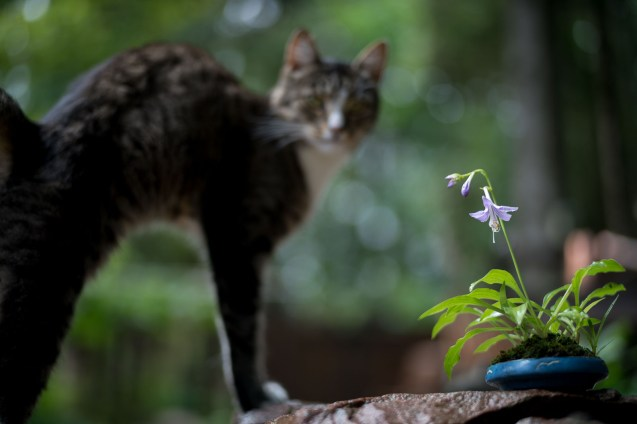 Daisy - the cat ruling the premises at Kisetsu-en.