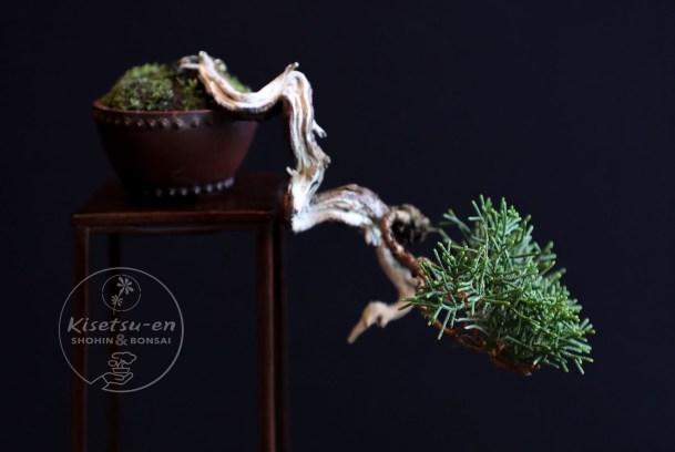 Shimpaku juniper.