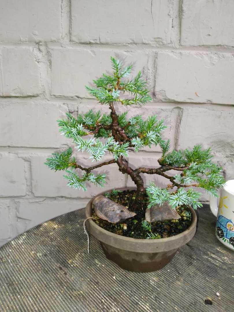 Juniperus wit