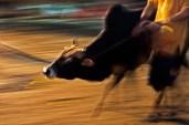 A bull rushing.
