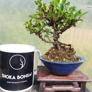 Chojubai Bonsai Tree