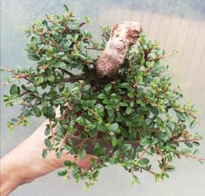 Cotoneaster bonsai tree shohin