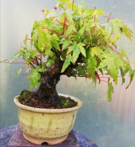 Shohin Japanese Maple