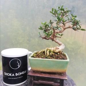 shohin olive Bonsai