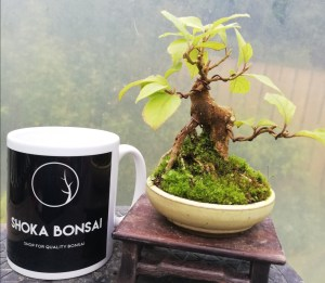 Callicarpa Bonsai tree