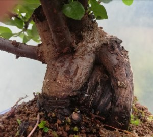 Sumo Pyracantha Bonsai Tree