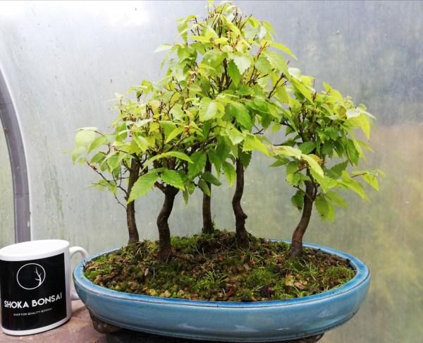 Zelkova Group Bonsai