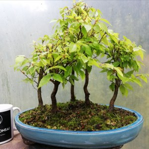 Zelkova Group Bonsai