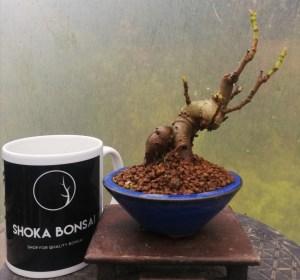 Fig Tree Bonsai