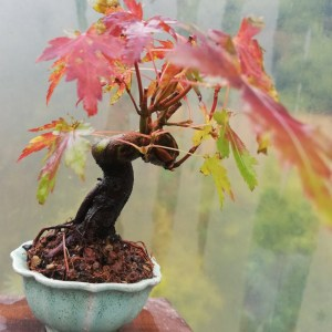 Japanese Maple mini bonsai