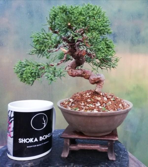 Chinese Juniper shohin Bonsai