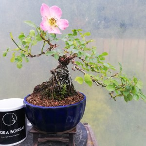 Shohin Dwarf Rose Bonsai Tree
