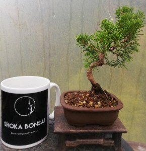 Mini Juniper Itiogawa Bonsai Tree