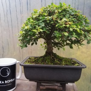 Shohin Chinese Elm Bonsai Tree