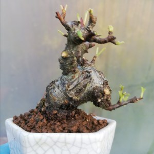 Mini Pyracantha Bonsai Tree