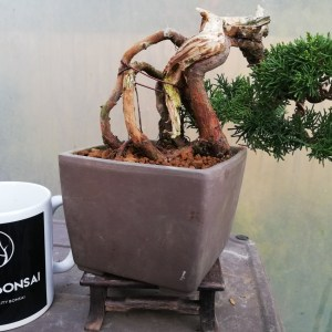 Chinese Juniper Bonsai Tree