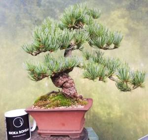 Large Japanese White Pine Bonsai tree