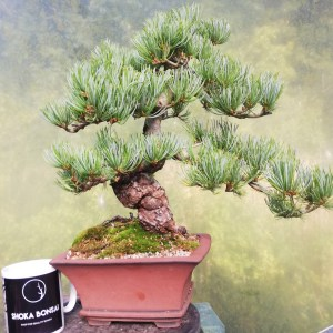 Large Japanese White Pine Bonsai tree