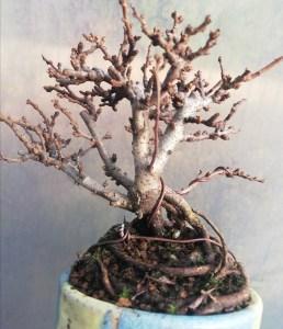 Chojubai Shohin Bonsai Tree