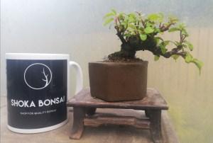 Mini Cotoneaster Bonsai Tree