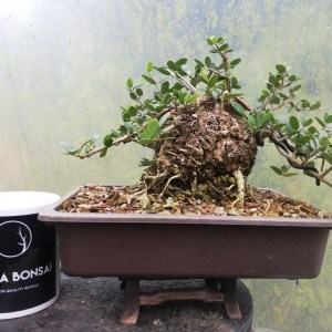 Jasmine Stephanense, summer flowering Bonsai Tree