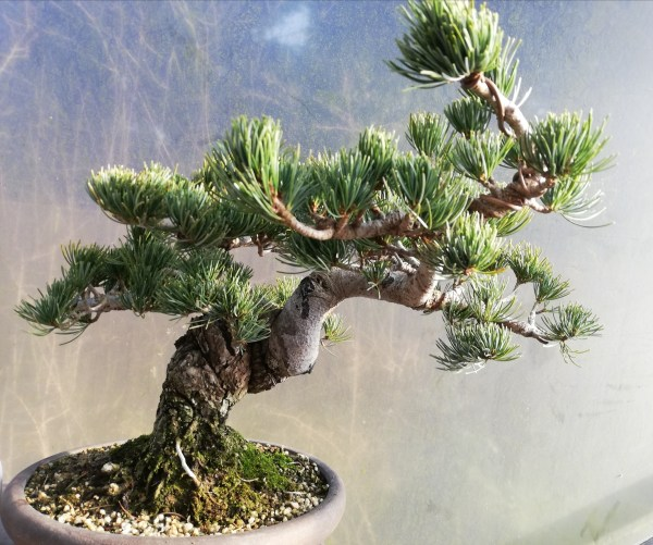 Japanese White Pine Specimen Bonsai Tree
