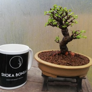 Cork Bark Chinese Elm Bonsai Tree