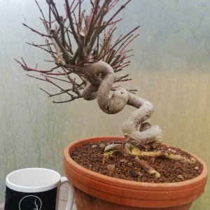 Euonymus Alatus Bonsai