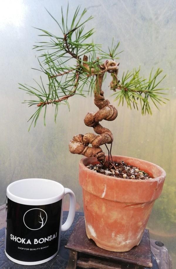 Scots Pine pre bonsai tree
