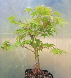 Japanese Maple Katsura in bonsai training
